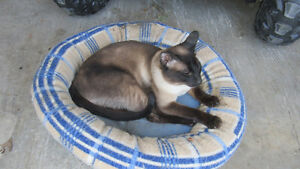 siamoise a vendre seal point pur race tonkinois Urgent!!