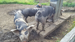 8 pastured pigs for sale