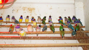 Gouldian Finches London Ontario image 5