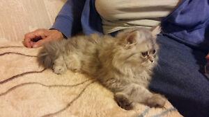 Persian Kitten for sale Kawartha Lakes Peterborough Area image 4