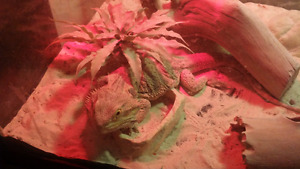 3 ur old fancy male bearded dragon