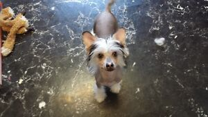 CKC Chinese Crested
