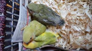Hand raised 100% non biting tamed baby love birds for sale $55