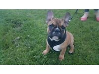 Beautiful French bulldog puppy
