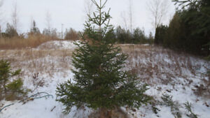 Cut your own Spruce Christmas trees