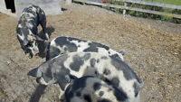 Heritage Pigs for Sale - Boars, Sows, Piglets, priced to move