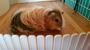 Guinea pigs for sale with cage and everything