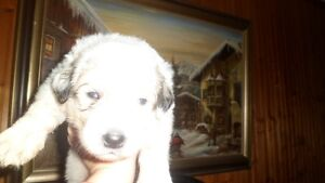 Purebred  Great Pyrenees puppies
