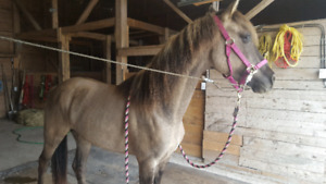 4 year old filly, dun, 14.2hh