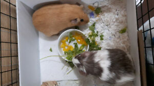 Two Guinea Pigs for Rehoming