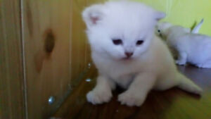 British shorthair black silver shaded purebreed kittens.