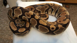 Ready to breed Ball pythons. Canada