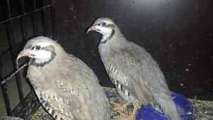 Chukar partridge for sale