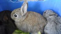 Male baby rabbits for sale