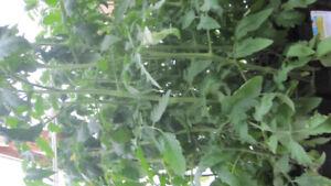 HORTICULTURE   PLANTS TOMATES  ET PLUS