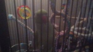 INDIAN RINGNECK BABY FOR SALE WITH CAGE