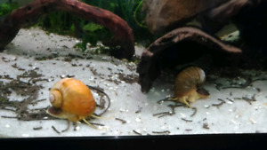 Ampullariidae : Escargots d'aquarium - Apple Snail for sale