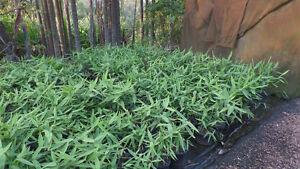 Tiger Grass 200mm pot Palmwoods Maroochydore Area Preview