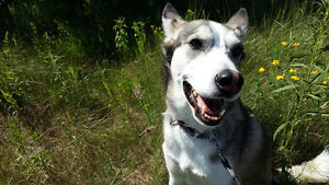 HUSKY HIKE! Adventure Seekers this is your dog