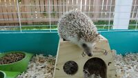 Female 2yo Hedgehog For Sale