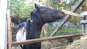 Black and white paint horse for sale Peterborough Peterborough Area image 4