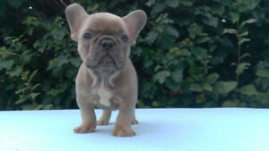 Beautiful Blue, Blue fawn and Blue sable frenchies for sale