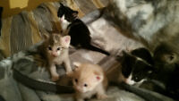 Kittens for sale ready to go august 15th will be litter trained