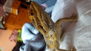 Bearded Dragon Looking For A Home