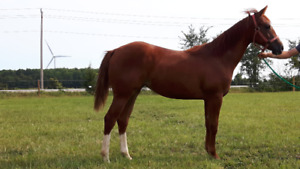 YEARLING QUARTER HORSE FILLY