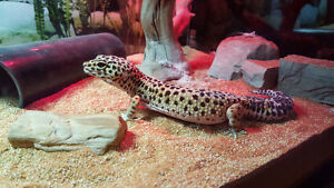 Leopard Gecko and Equip.