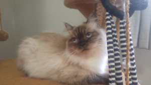 Himalayan Female Available 2 years old