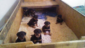 Rottweiler Pups soon ready for homes