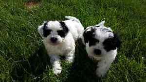Shih-tzu X Bichon Frise puppies for sale.