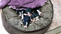 Bernese Mountain Dog Puppies - Only 3 Girls Left!