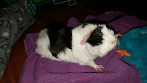 FREE,,,FEMALE GUINEA PIGS