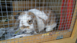 Purebred Holland Lop Bunny Pair