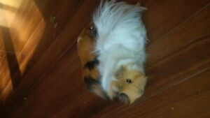 Two young male guinea pigs with cage and....