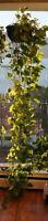 Large Pothos (Vine) Plants