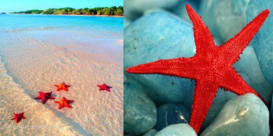 Red Starfish1