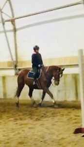 Hunter Mare Available For Show Lease