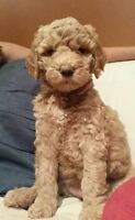 GOLDENDOODLE X STANDARD POODLE ~ Ready January 17 ~ 519.835.6838