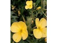 Six Evening Primrose plants