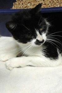 "Adult Female Cat - Domestic Short Hair: ""Dutch"""