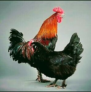 Wanted: Black Copper Marans Hens Or Chickens At No Charge!