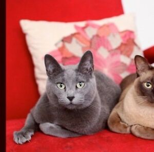 LOST STOLEN RUSSIAN BLUE CAT Mayfield East Newcastle Area Preview