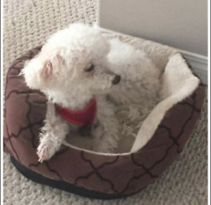 "Senior Male Dog - Poodle: ""Beamer"""