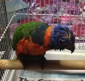 Hand reared Red collar hen bird Telarah Maitland Area Preview