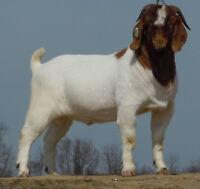 Boer Bucks For Sale