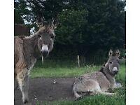 2 x small grey yearling jacks