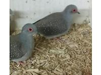 2 x cock diamond doves for sale. Closed rung 2016 Collection dereham